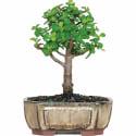 Jade Bonsai Tree for $22 + pickup at Walmart