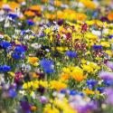 Wildflower Seeds Pack for free
