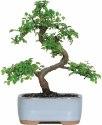 Chinese Elm Bonsai Tree for $24 + pickup at Walmart