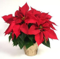 1-Quart Poinsettia for $1 + pickup at Lowe's