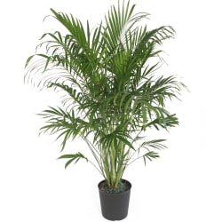"Delray Plants 10"" Cateracterum Palm for $11"