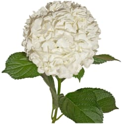 30 White Hydrangeas from $59