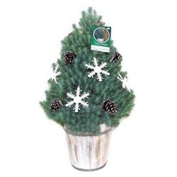 2-Gal. Italian Stone Pine Live Christmas Tree